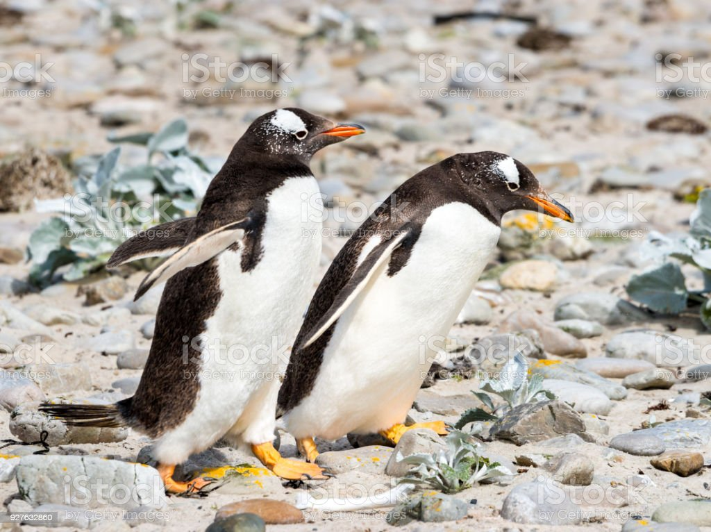 Two Marching Adelie Penguins stock photo