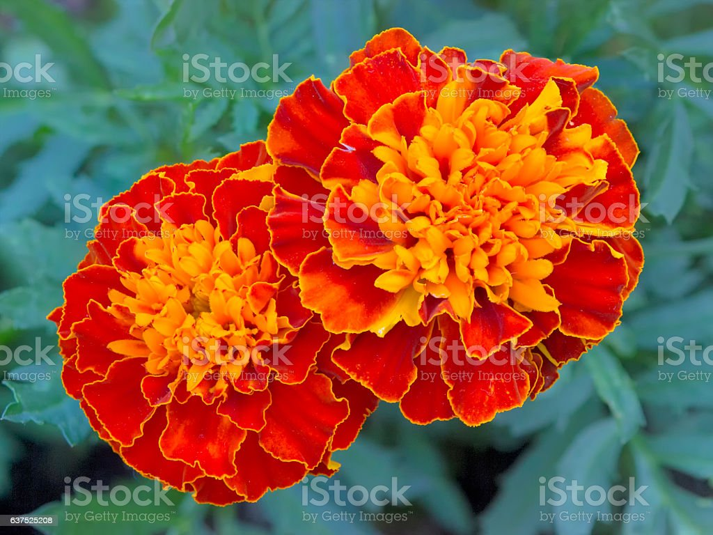 Two Marigold Blooms stock photo