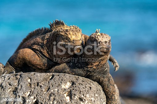 Two Marine iguanas  in love while taking sunbath on volcanic rock in  Tortuga bay on Santa Cruz island, on Galapagos, Ecuador. They are endemic to Galapagos islands and can feed in sea, unique for modern reptiles.