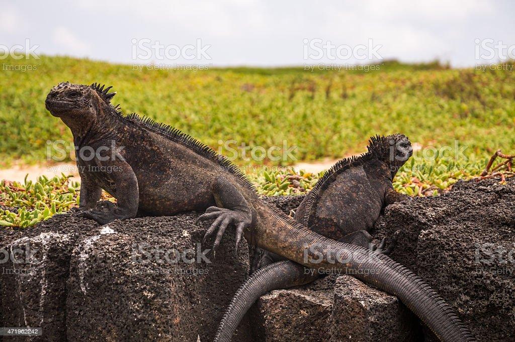 Two marine iguanas on a black volcanic rocks. stock photo