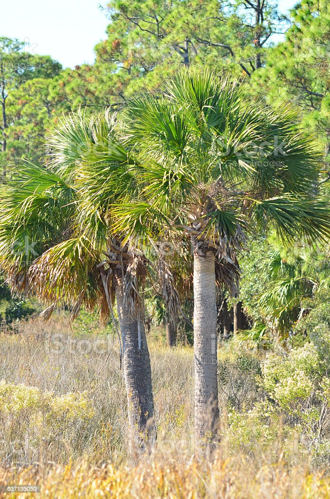 Two mature Cabbage Palms growing in marsh with pine forest stock photo
