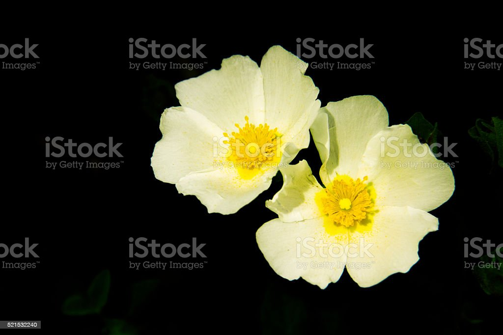 Two meadow anemone white on black background. stock photo