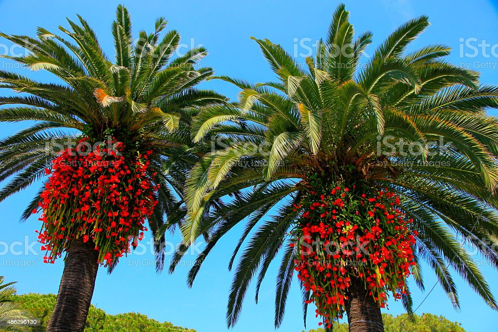 Two Mediterranean palm trees, red flowers in Italian Amalfi Coast stock photo