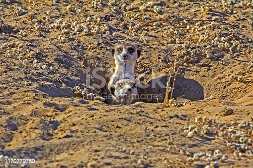 Two inquisitive Meerkat poking heads out of sandy den in Botswana