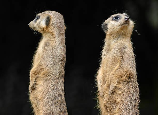Two meerkats facing opposite sides depicting divorce stock photo
