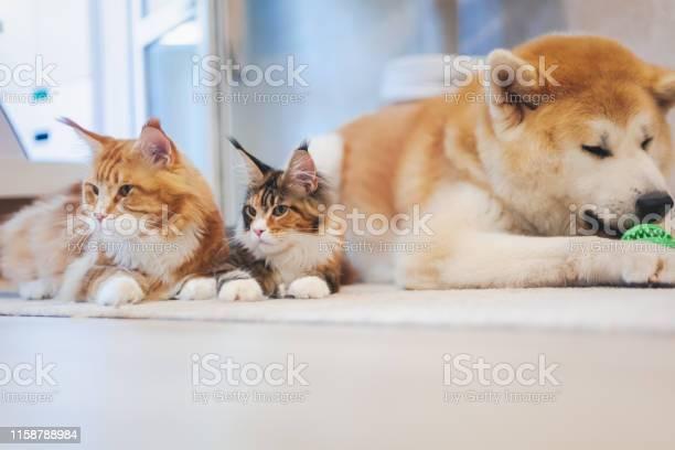 Two meinkun cat and akita inu dog best friends relaxing on the floor picture id1158788984?b=1&k=6&m=1158788984&s=612x612&h=eimtwbdj46dsrjbj6xn9zopzwlrpf2eiprqqixnv8wg=