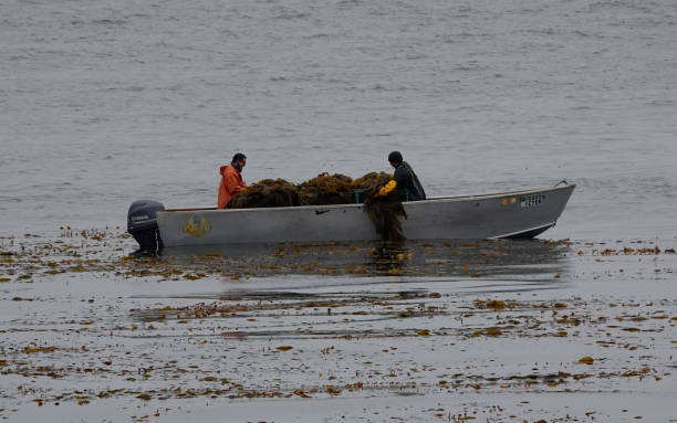 Two men in a small boat harvesting kelp stock photo