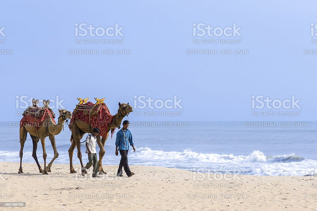 Two men leading camels. royalty-free stock photo