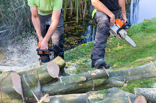 istock Two men sawing beech tree with chain saw 879258754