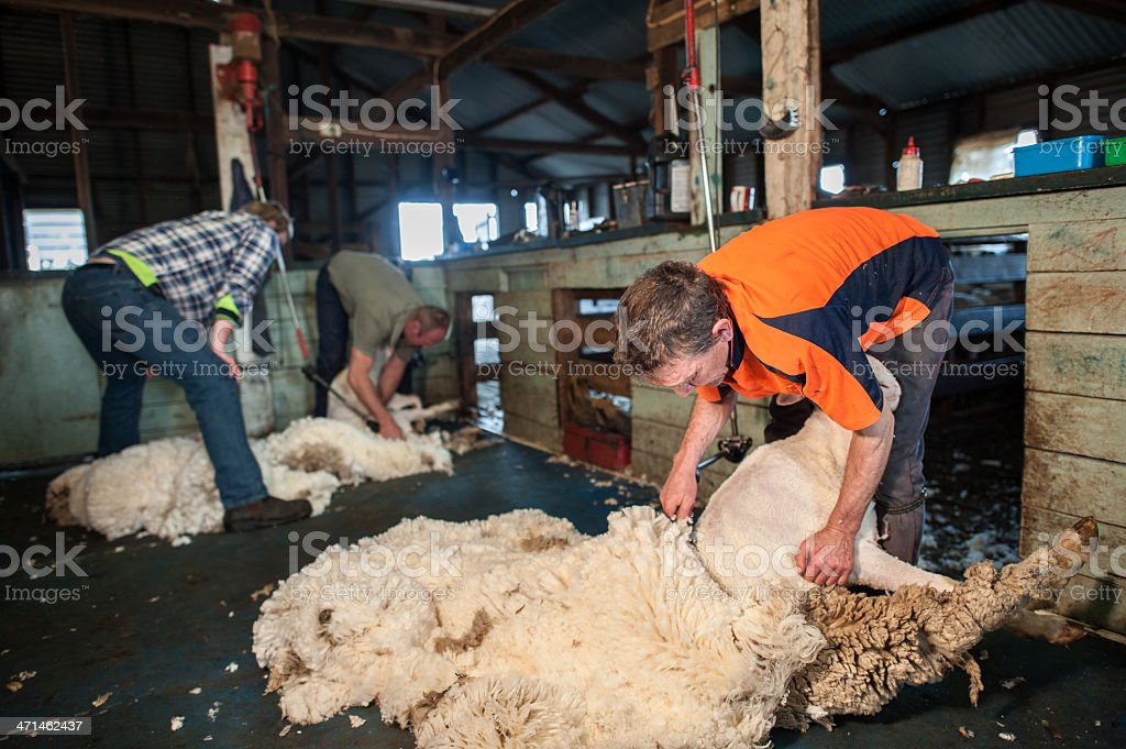 Two men shearing sheep stock photo