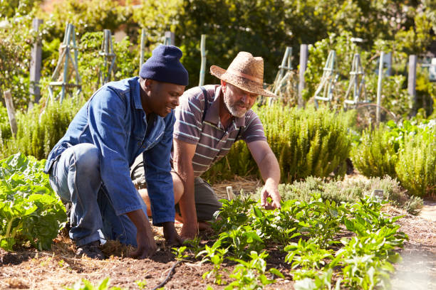 Two Men Working Together On Community Allotment Two Men Working Together On Community Allotment community garden stock pictures, royalty-free photos & images