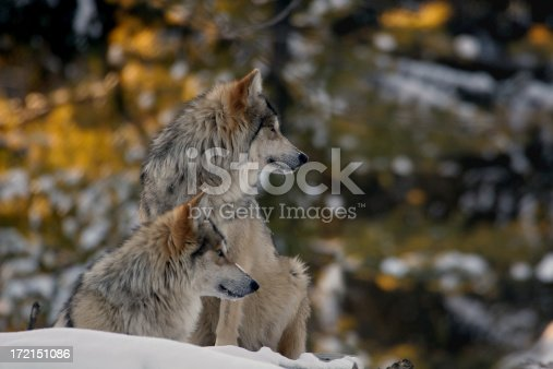 istock Two Mexican Gray Wolves Sitting 172151086