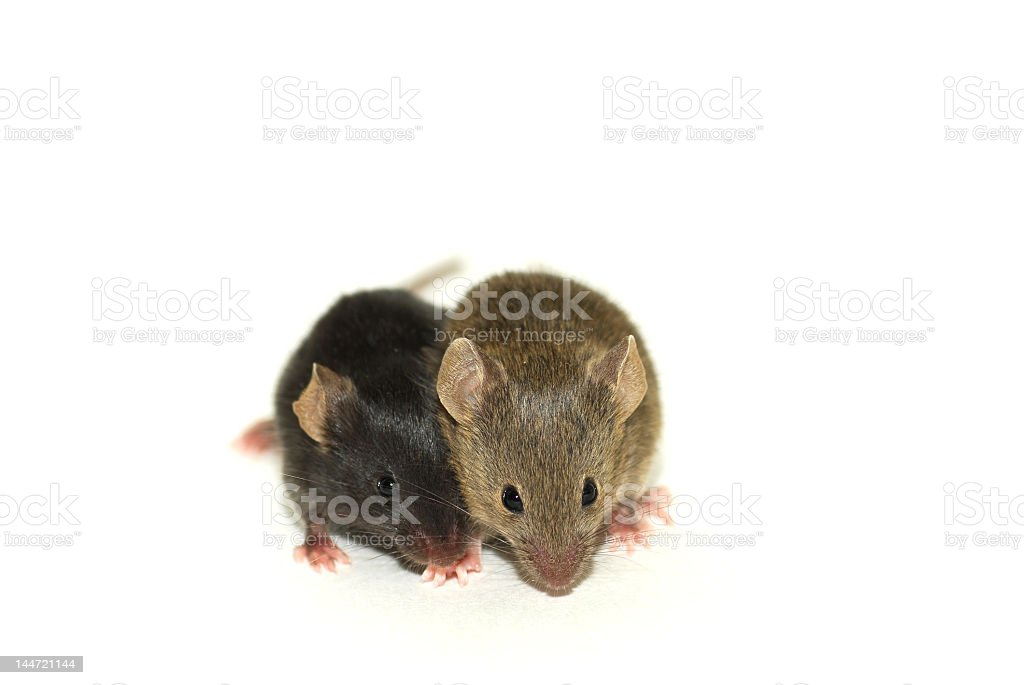 Two mice sitting closely together stock photo