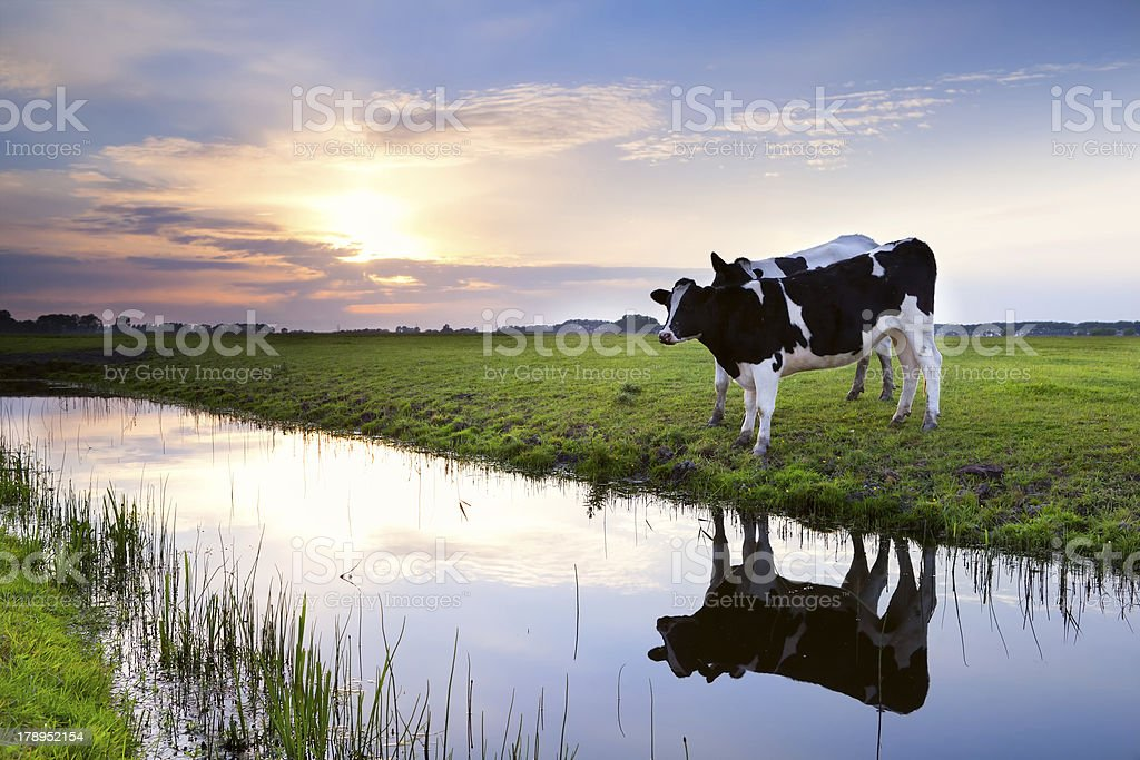 two milk cows by river at sunset royalty-free stock photo