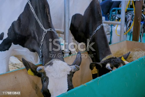 Two black and white milking cows eating hay at agricultural animal exhibition, cattle trade show. Farming, feeding, agriculture industry, livestock and animal husbandry concept