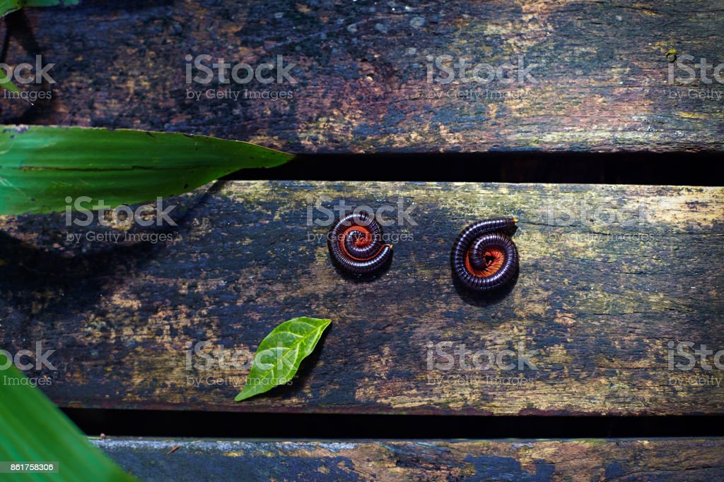 two millipede insects twisted in protective reaction laying on wooden path in tropical garden stock photo