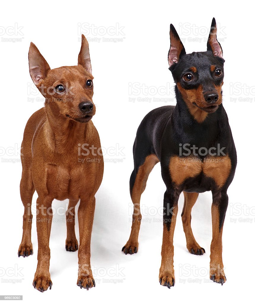 Two Miniature Pinschers royalty-free stock photo