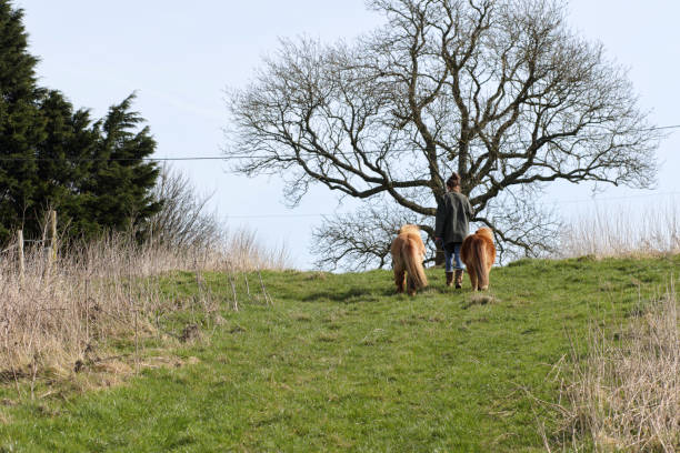 two miniature shetland ponies heading on up the hill - whiteway pony stock photos and pictures