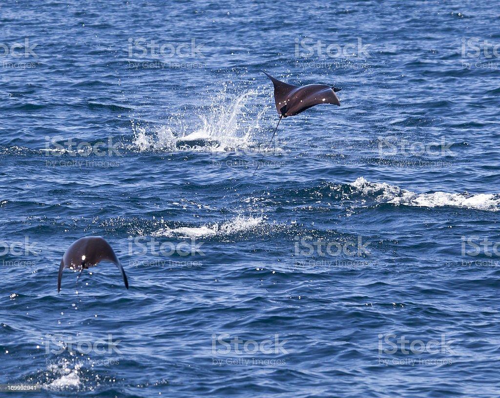 Two Mobula Rays jumping stock photo