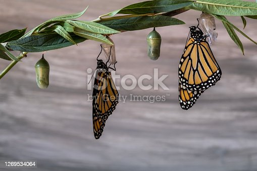 Two monarch butterflies, Danaus plexippuson, drying wings on chrysalis gray wood background