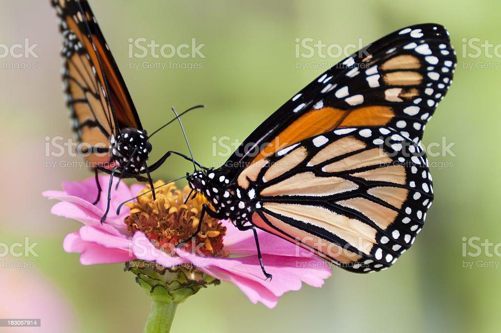 Fotografía de Dos Mariposas Monarca Alimentándose De Flor Rosa y más ...