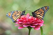 istock Two Monarch Butterflies 1279420378