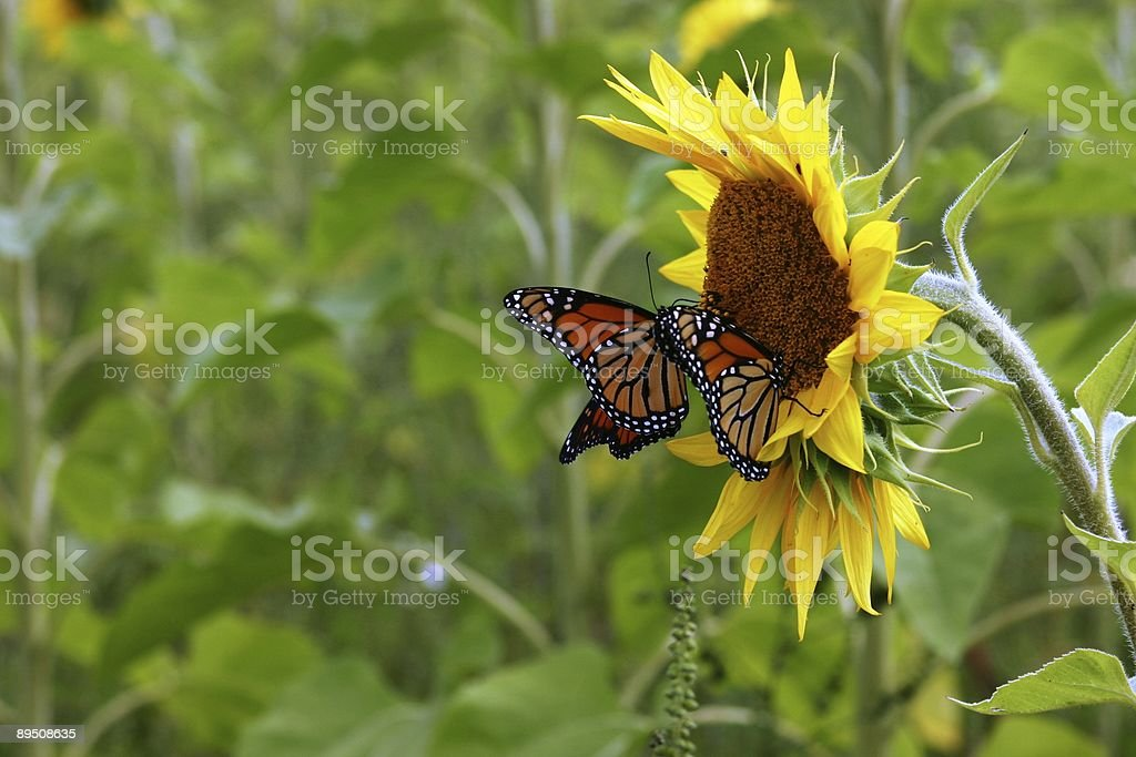 Two Monarch Butterflies Visit a Sunflower royalty-free stock photo