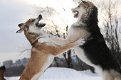 Close up view at a two big mixed breed dogs fighting over a snow backgroung