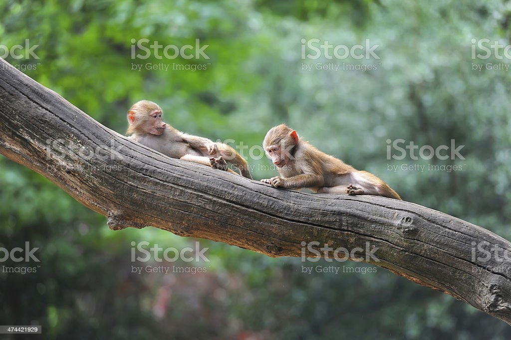Two monkey friends playing in tree stock photo