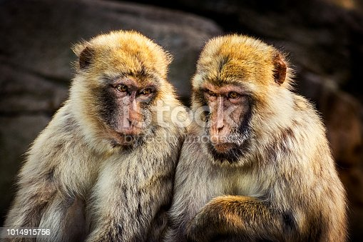 Close up of two monkeys - Barbary macaque sitting on Gibraltar rocks under last sunrays in the late afternoon.