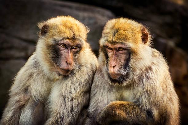 deux singes - macaque berbère - singe magot photos et images de collection