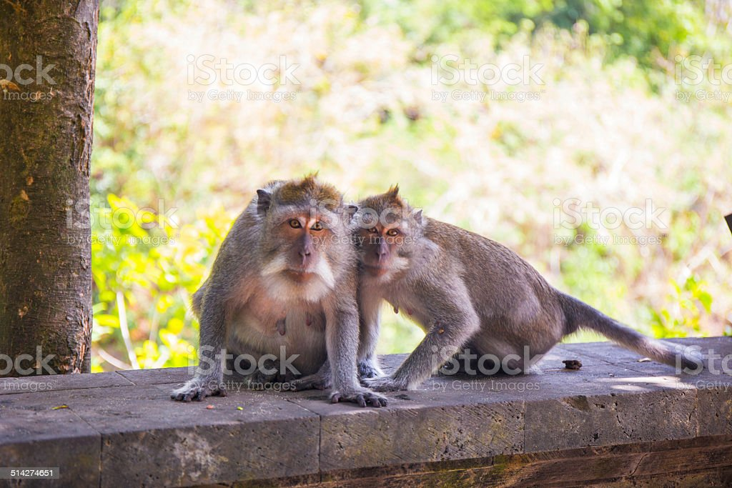 Two monkeys look at the camera stock photo