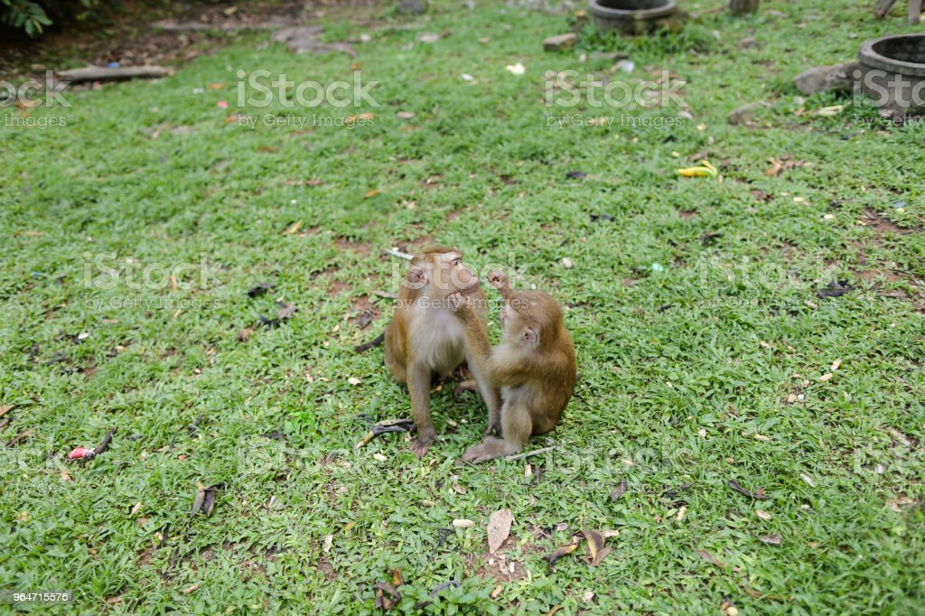 Two monkeys sitting on grass in park royalty-free stock photo