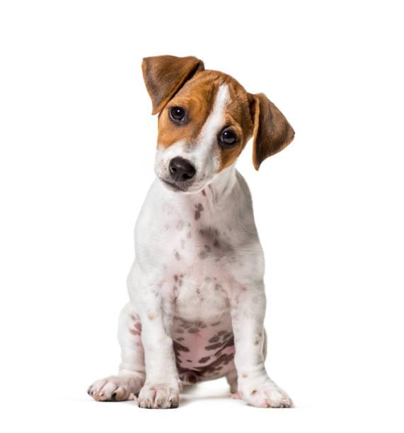 Zwei Monate alter Welpe Jack Russell Terrier Hund sitzt vor weißem Hintergrund – Foto