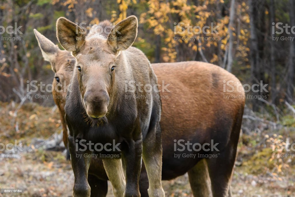 Two Moose in Fall Close Up Looking at Viewer stock photo