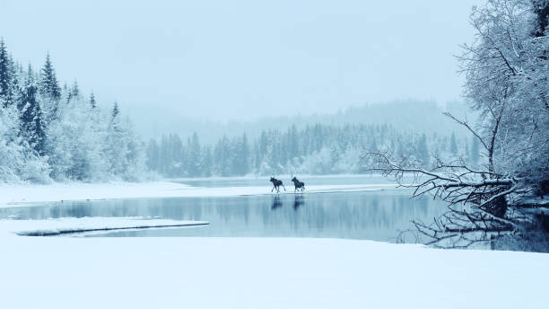 two mosses in the fog - moose stock pictures, royalty-free photos & images