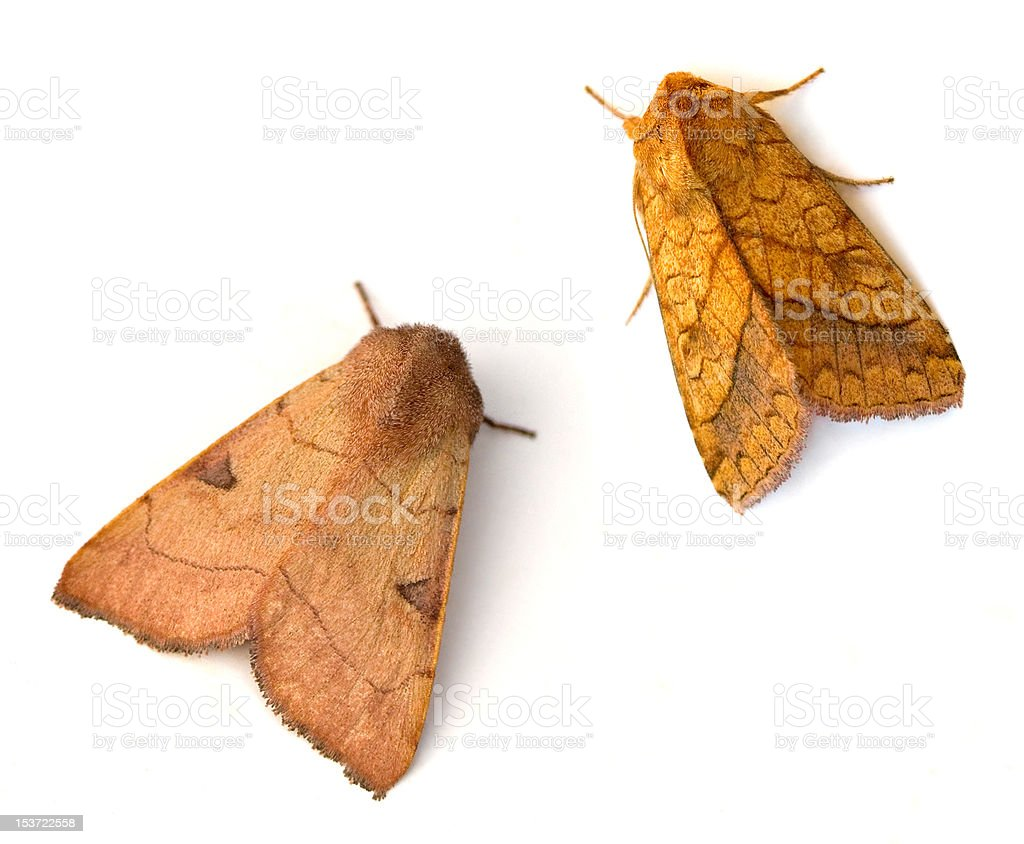 Two Moths stock photo