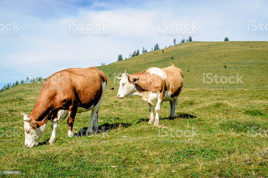 two mottled cows standing in the meadow stock photo