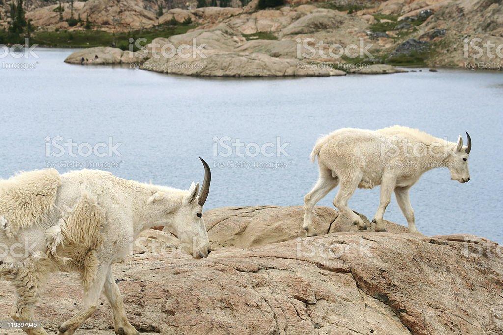 Two Mountain Goats royalty-free stock photo
