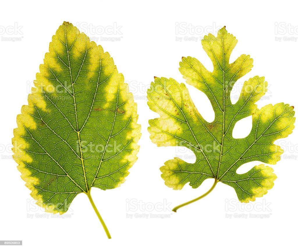 two mulberry leaves changing colors royalty-free stock photo