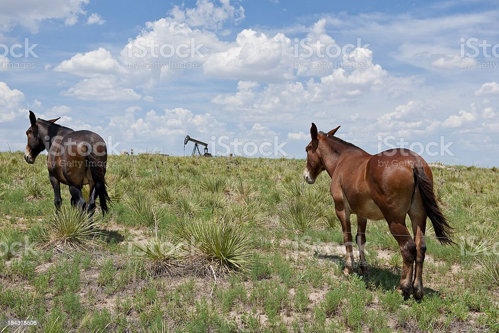 Two mules on prairie royalty-free stock photo
