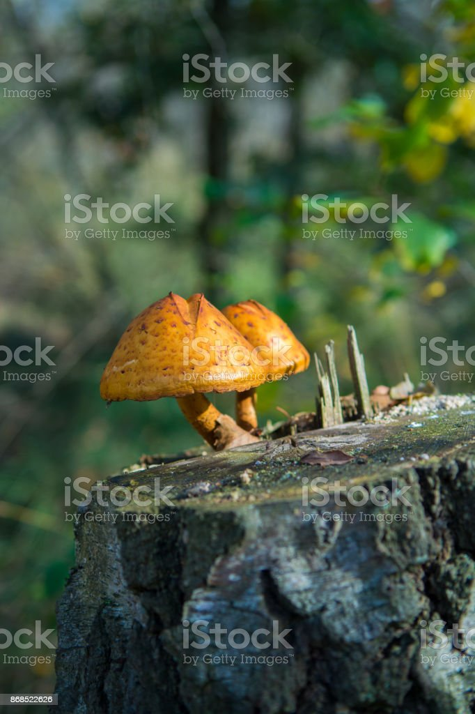 Two mushrooms on birch stub in the autumn forest stock photo
