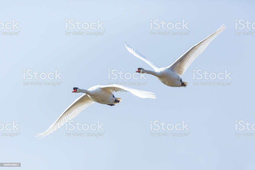 zwei Schwäne (Cygnus Olor) in aufeinander folgenden Flug stumm – Foto