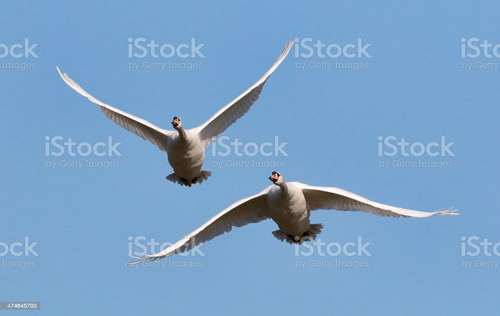 Two flying mute swans Cygnus olor in blue sky stock photo