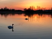 Two swans swimming on a lake with a dramatic sky.