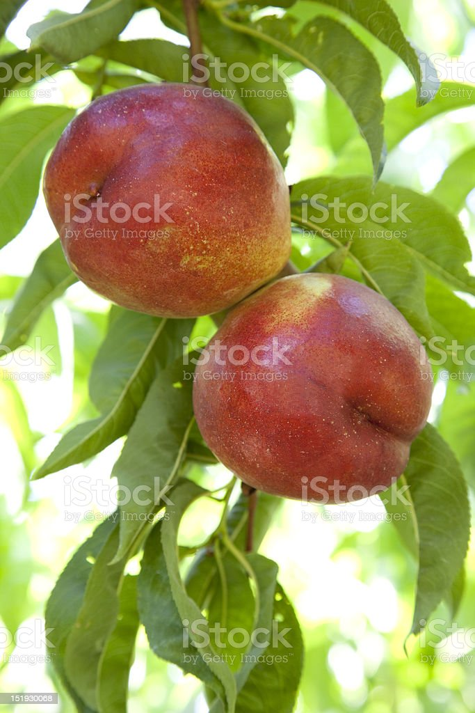 Two Nectarines stock photo