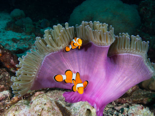 Two nemo Clownfish under the purple mantle of its host anemone Two nemo Clownfish under the purple mantle of its host anemone false clown fish stock pictures, royalty-free photos & images