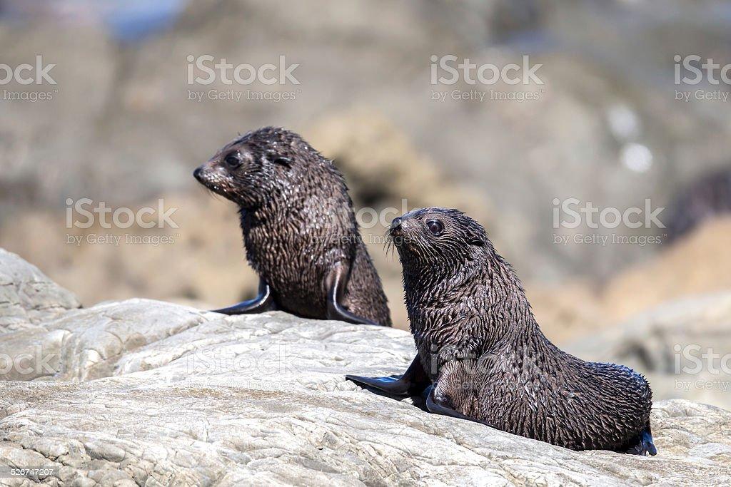 Two New Zealand Fur Seals Pups (Arctocephalus Forsteri) stock photo