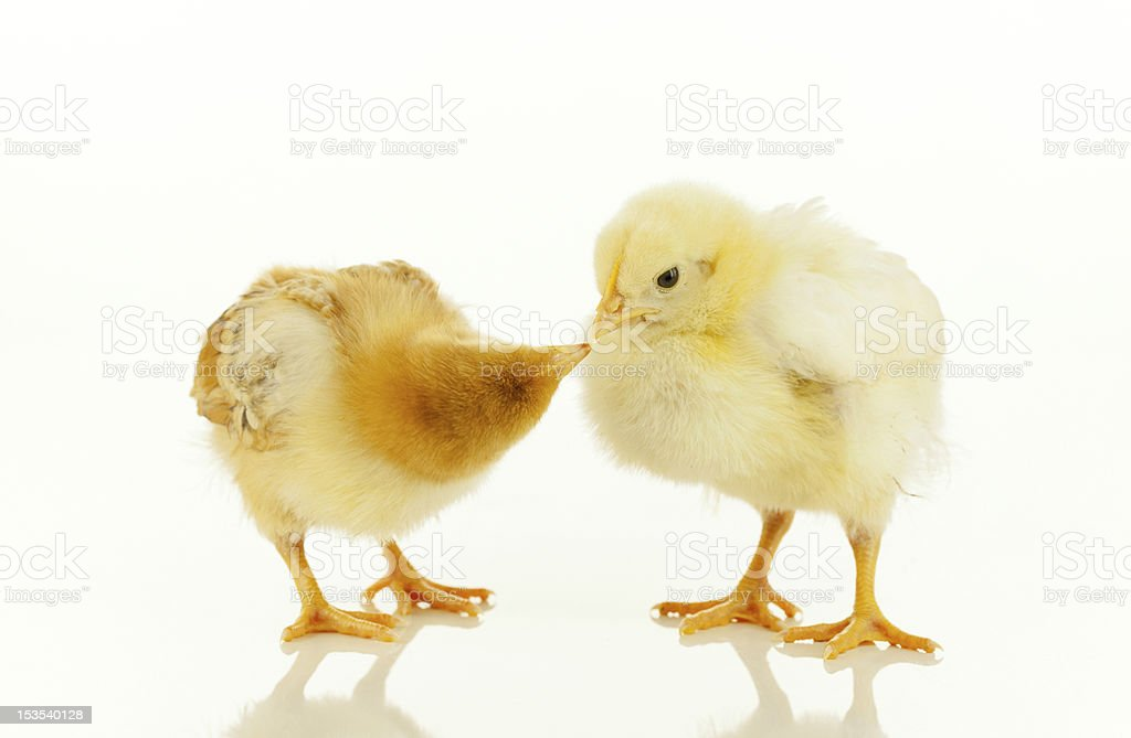 Two newborn chickens royalty-free stock photo
