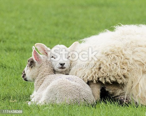Two newborn lambs cuddle for shelter next to their mother in a lush meadow